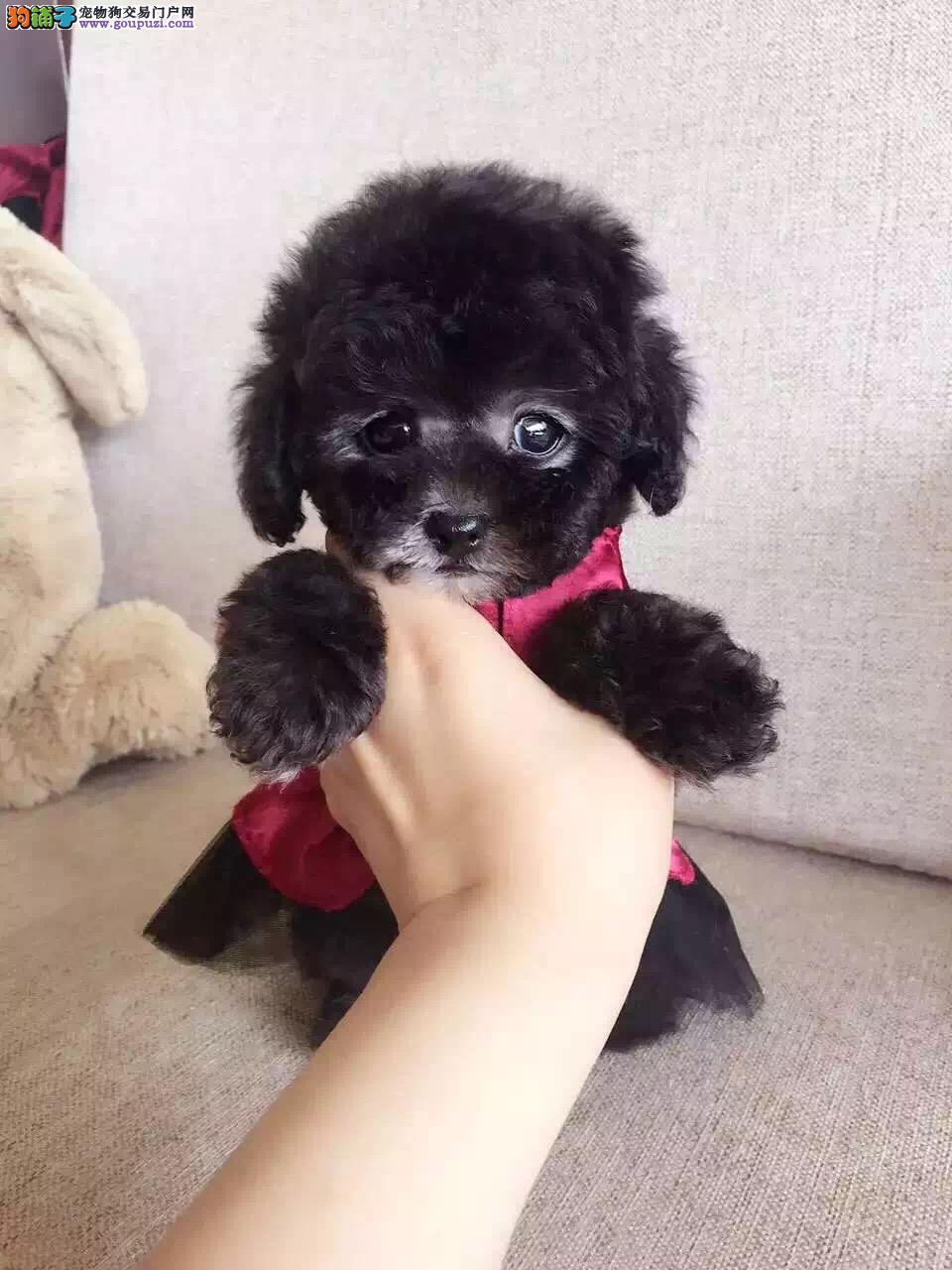 正规犬舍出售 纯种泰迪熊,超萌可爱 签纯种健康协议