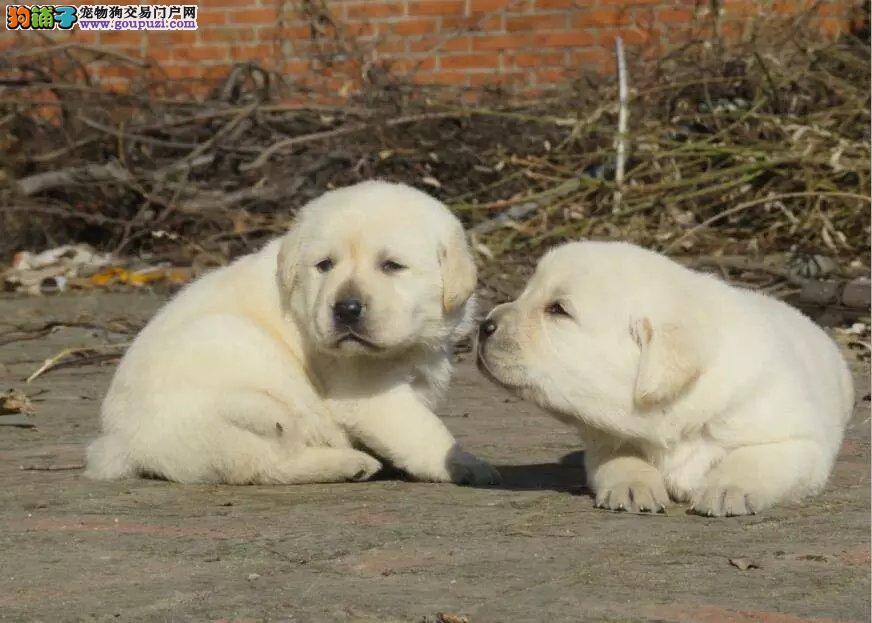 真正的自己实体狗场  专业繁殖拉拉幼犬  签订协议