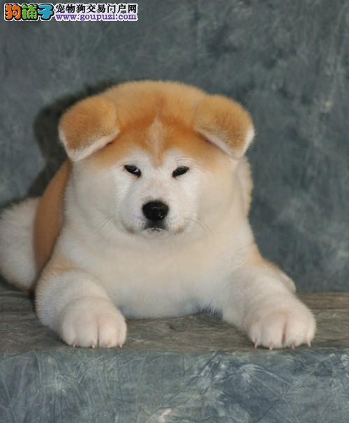 纯种日系秋田犬,对主人最真心犬种,血统纯,品质保