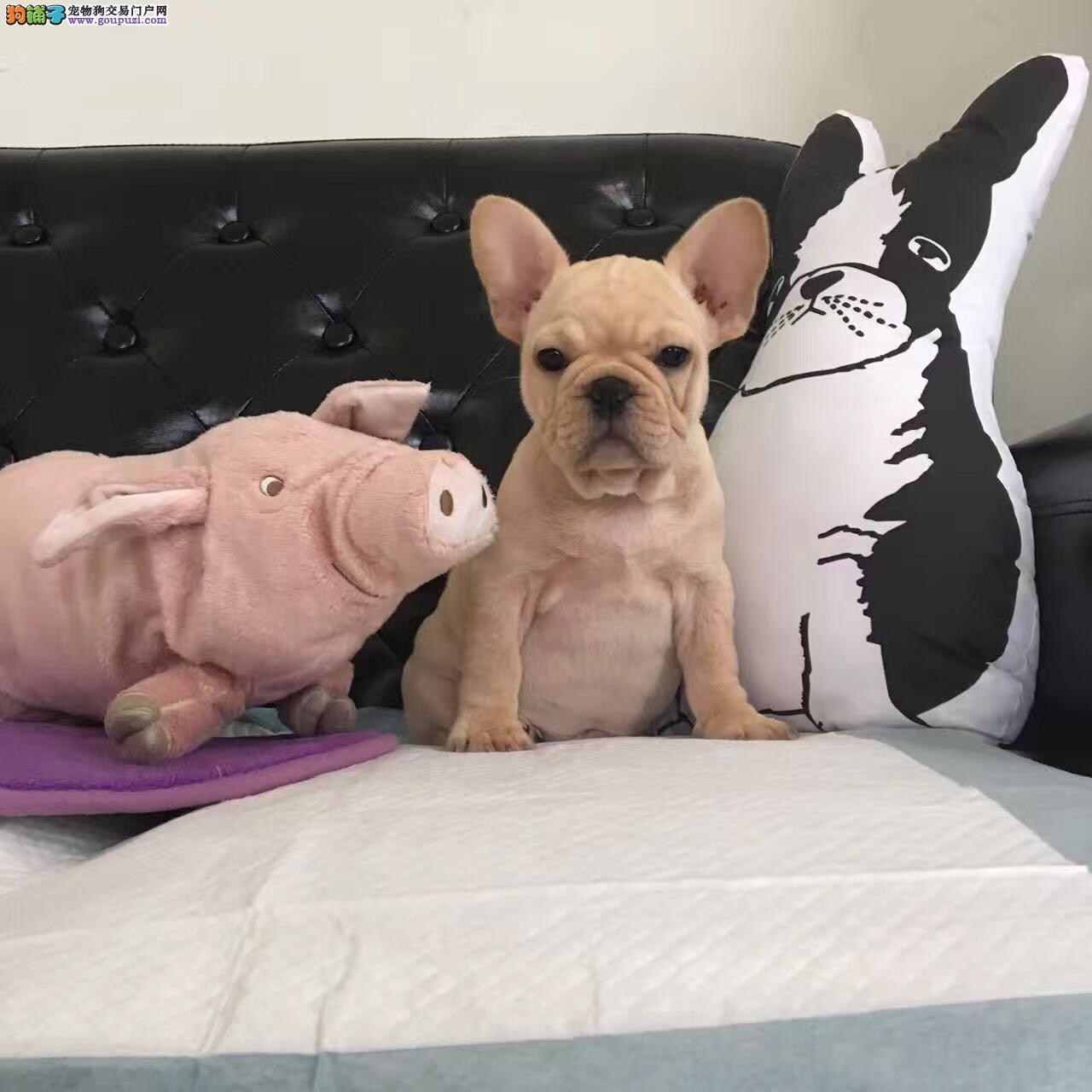 法国斗牛犬丿全场优惠丿三个月包退换丿 签协议包养活