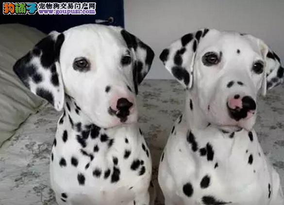 金华售精品大麦町犬宝宝 种犬可对外配种 签署保证协议
