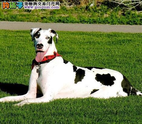 CKU认证犬舍 专业出售极品 大丹犬幼犬金牌店铺有保障