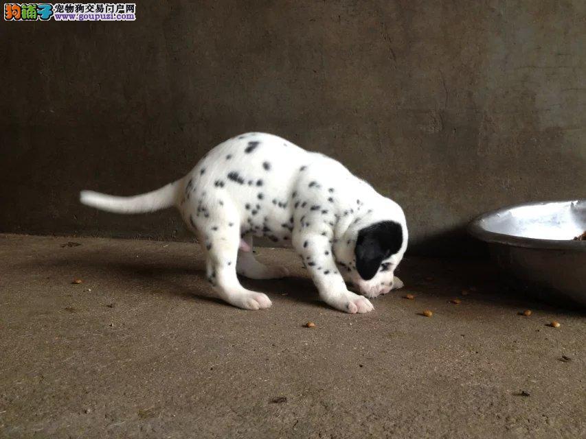 童话故事中的斑点狗本性友好极易亲近