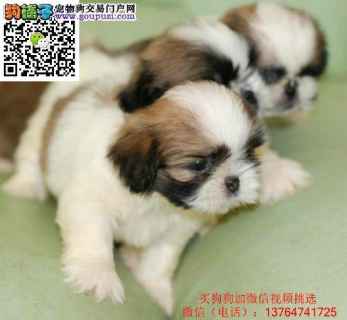 出售家养纯种聪明漂亮可爱的西施宝宝幼犬欢迎上门选购