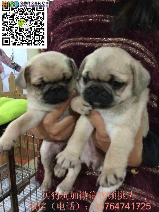 出售巴哥幼犬 家养纯种巴哥犬 公母都有 包纯种健
