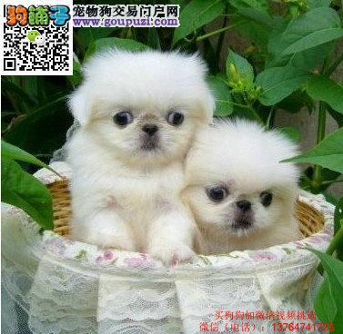 实体店铺出售纯种京巴幼犬价格 京巴幼犬多少钱那里买
