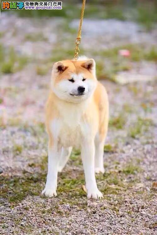 纯种日系秋田犬,正规犬舍专业繁殖幼犬带证书芯片