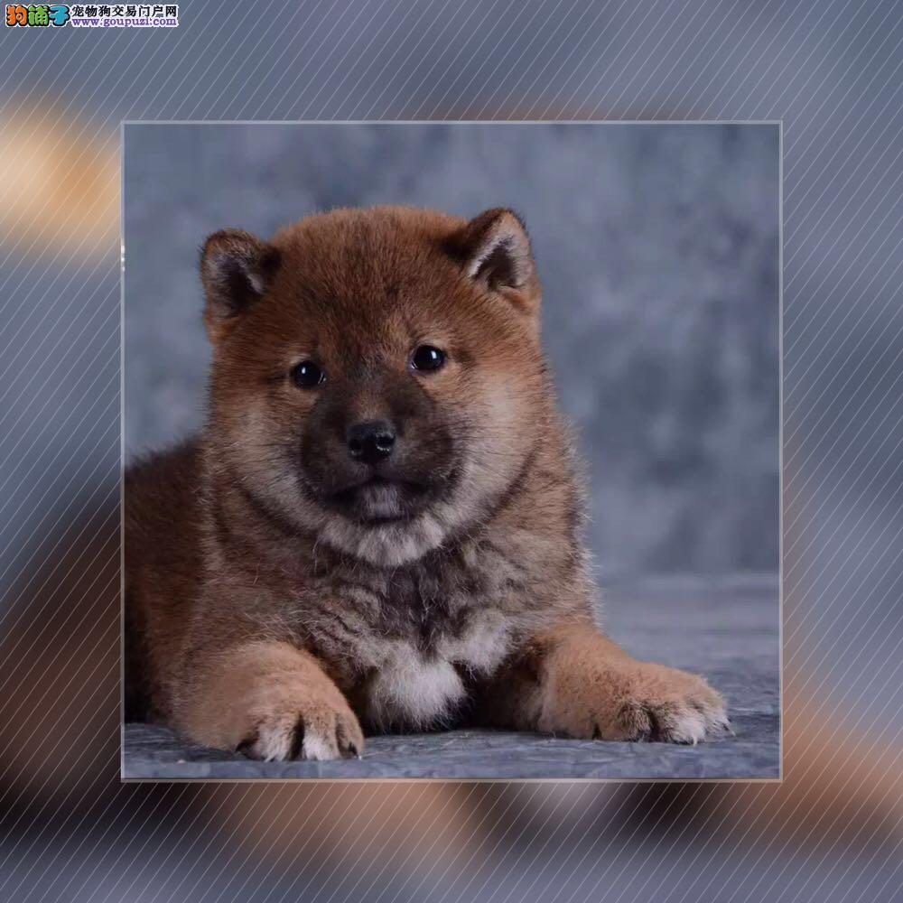 精品赛级柴犬,正规犬舍繁育,三针做齐,签质保