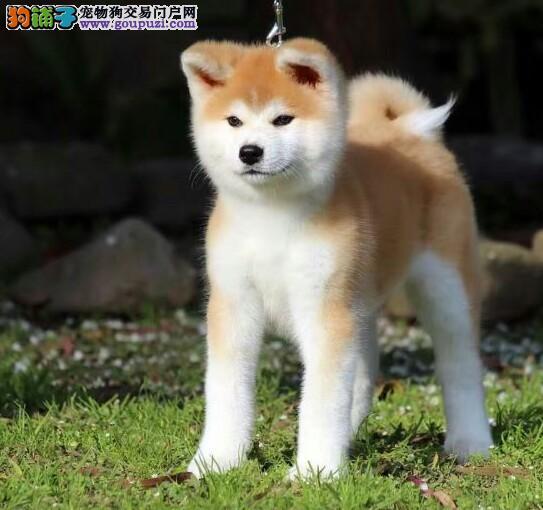 秋田犬价格_日本秋田犬多少钱一只_纯种实拍