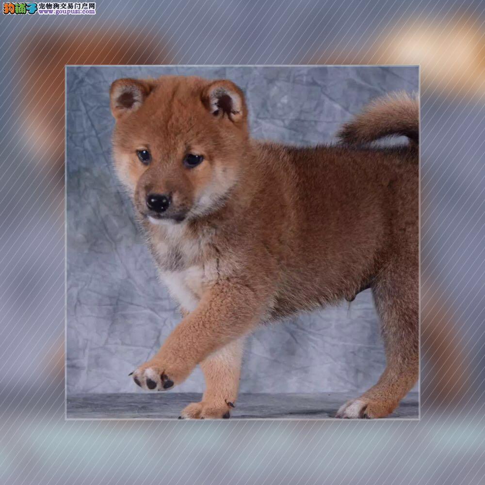 柴犬丿全场优惠丿三个月包退换丿送用品 签协议包养活