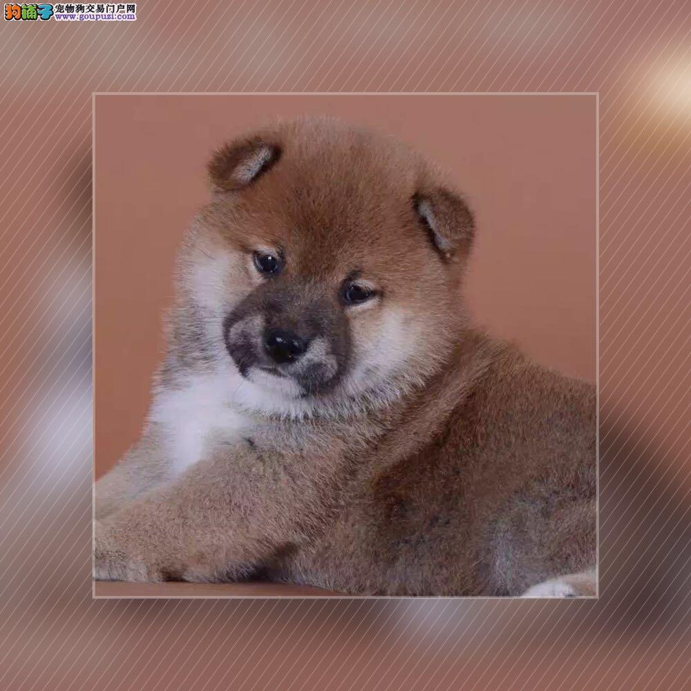 精品纯日系柴犬、国外引进种犬、签订终身纯种健康协