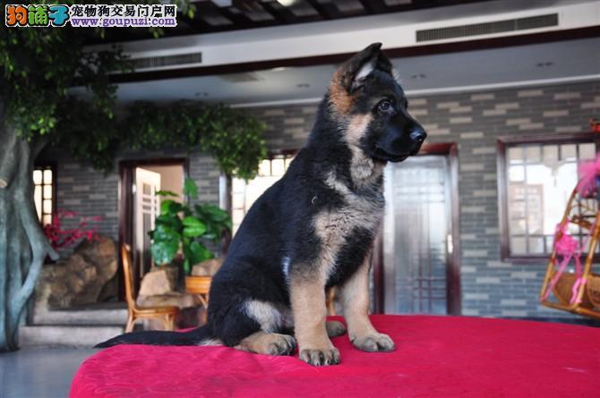 狼狗多少钱买到苏州哪里有狗场出售狼狗幼崽一般什么价