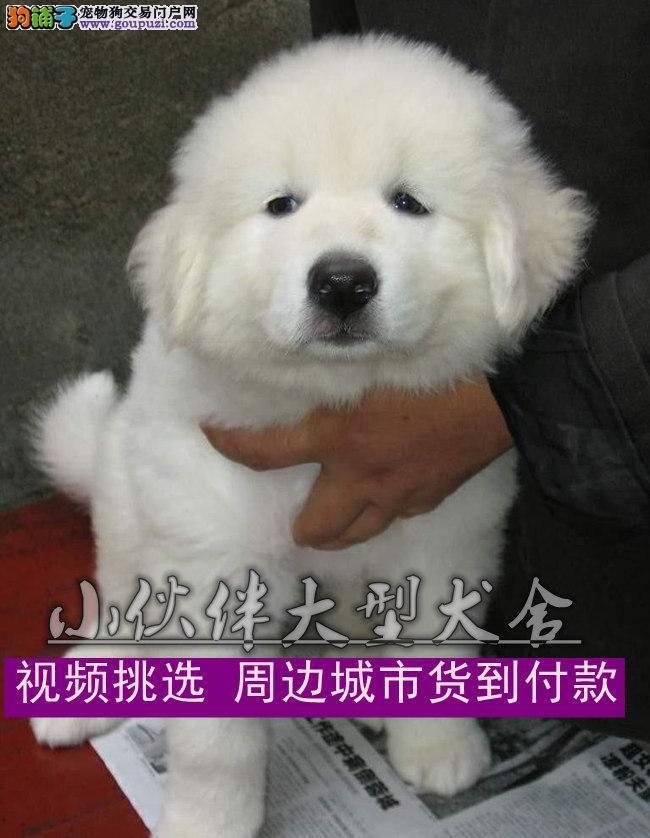 云南哪里有卖狗的,云南哪里有卖大白熊