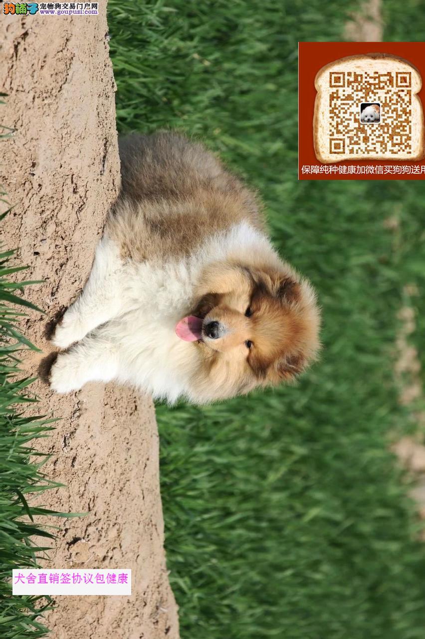 常年售卖 纯种苏牧幼犬 血统纯正 公母多只可以挑选