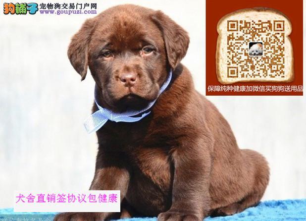 拉布拉多多少钱,宠爱犬舍出售纯种宠物狗