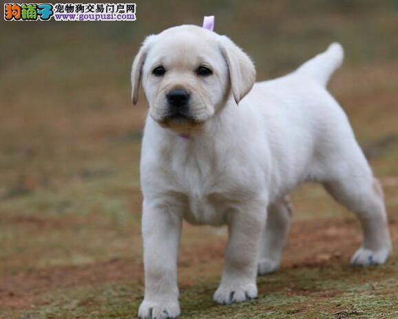 精品拉布拉多 赛级  双血统 纯种幼犬。