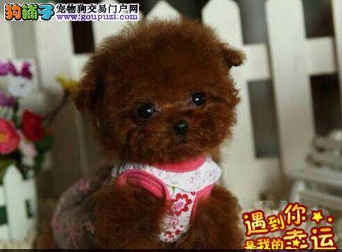 出售萌萌的高品质玩具微小体泰迪熊宝宝