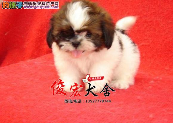 西施犬幼犬出售 养殖场直销 无中介 批发价