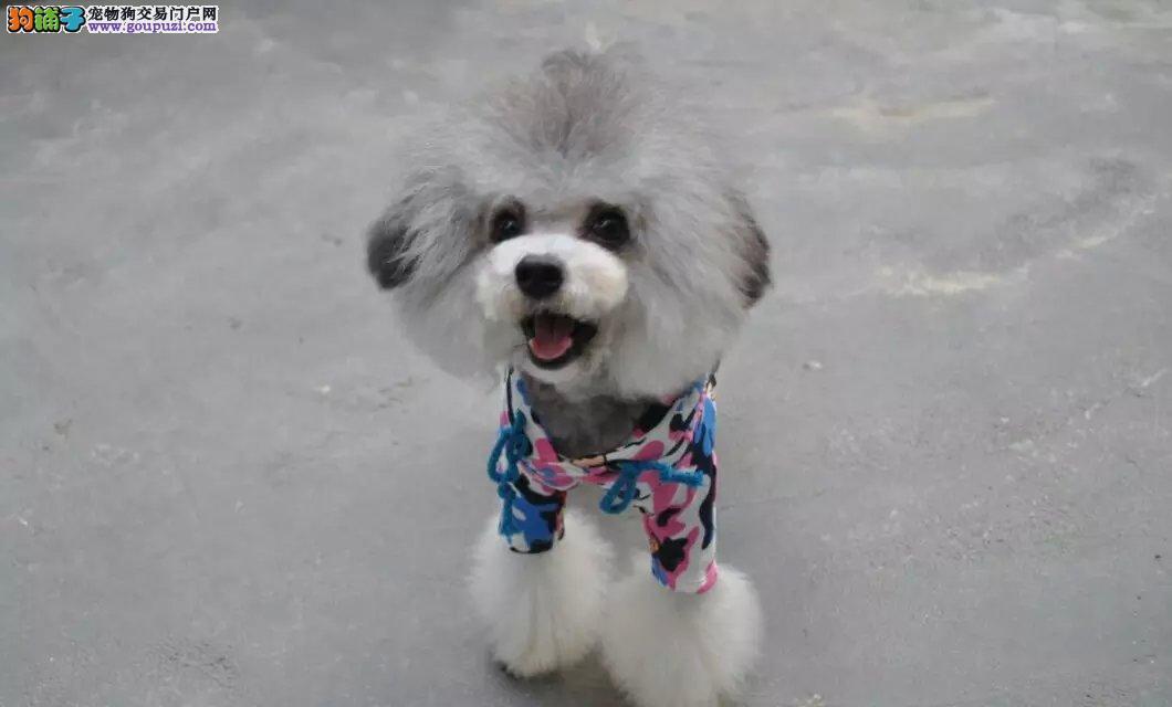 精品高品质泰迪犬 专业基地 健康签协议