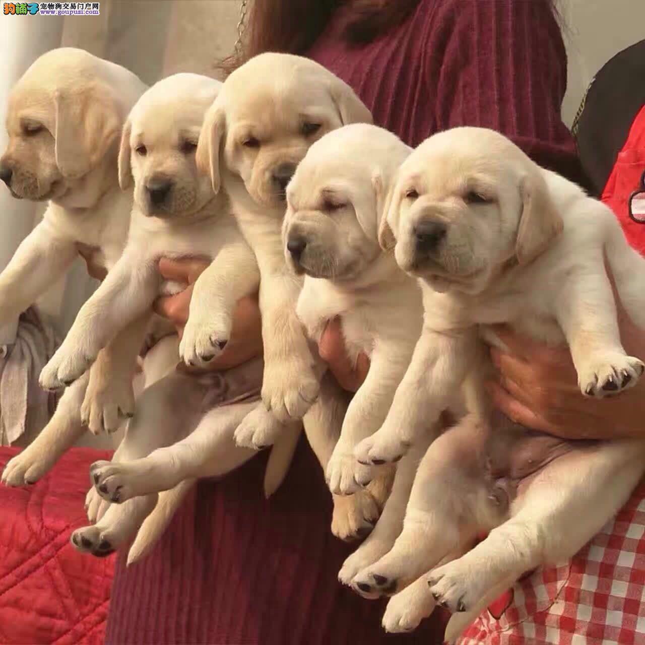 自家繁殖拉布拉多 保证纯种 可24小时视频看狗