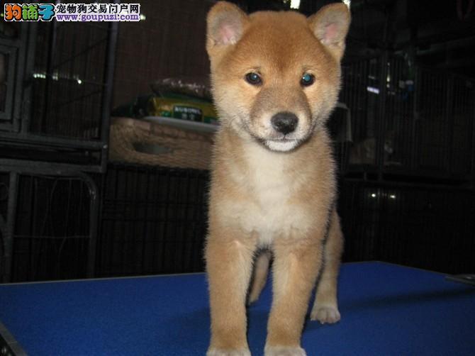 出售柴犬宝宝 纯种健康