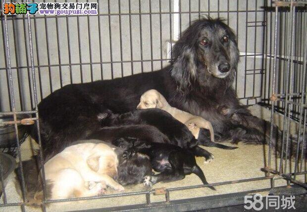 专业繁殖 阿富汗猎犬 ,包纯种签协议。可来基地挑选