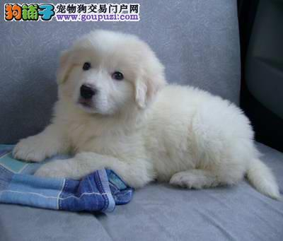纯种大白熊幼犬 大白熊低价直销