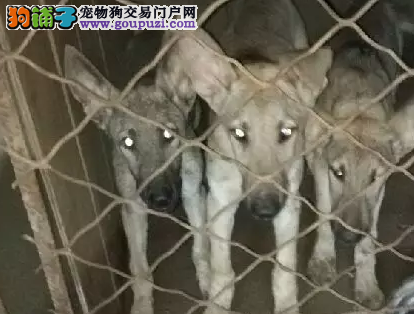 出售黑狼犬黑狼幼犬。