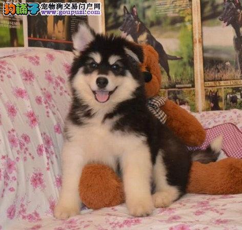 阿拉斯加雪橇犬阿拉斯加俱乐部阿拉斯加图片阿拉多少钱