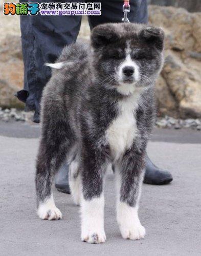 日系秋田犬幼犬出售,专业犬舍