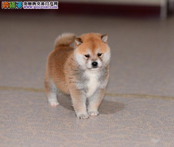 身体清洁的柴犬出售体型较小