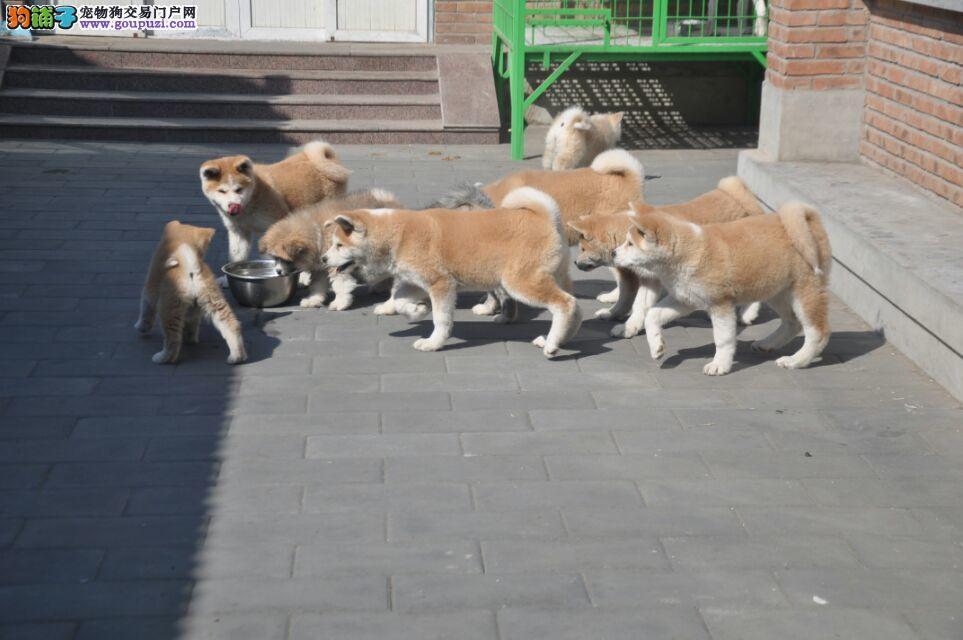 日系秋田犬,赛级品质证书齐全