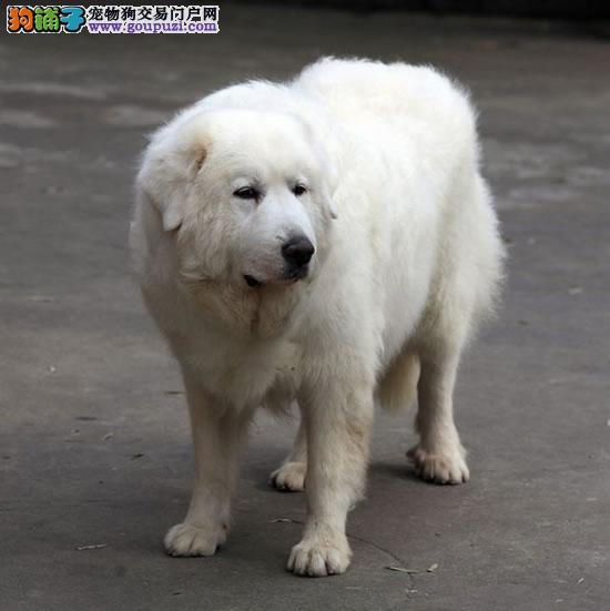 大白熊犬. 纯种健康.可以上门看狗