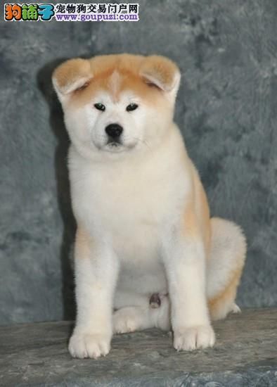 秋田幼犬 纯种健康有保障