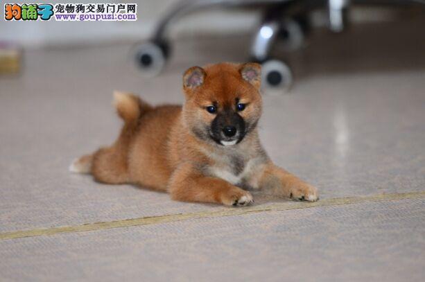 高品质日系柴犬 高端儒雅 可爱健康