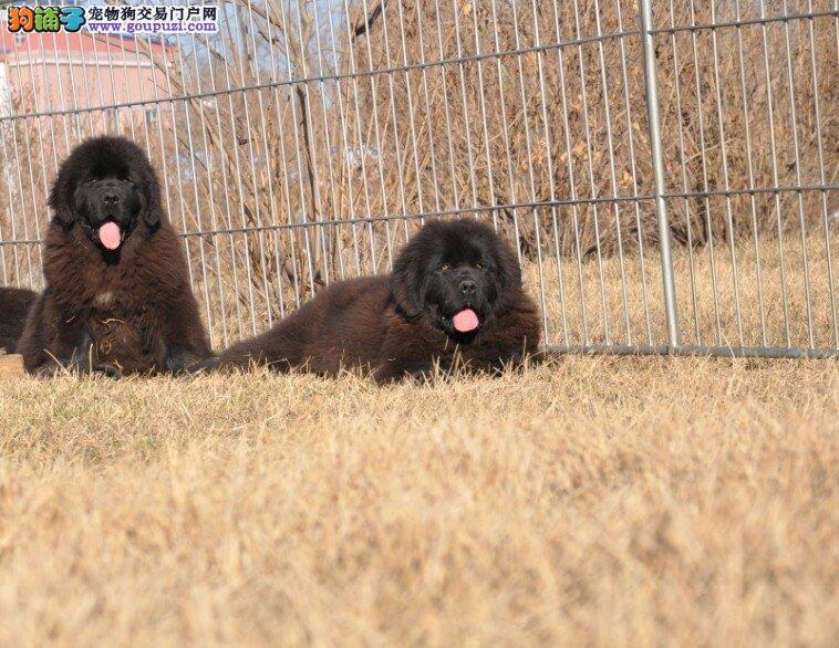 顶级优秀的纯种合肥纽芬兰犬热销中签订协议终身质保