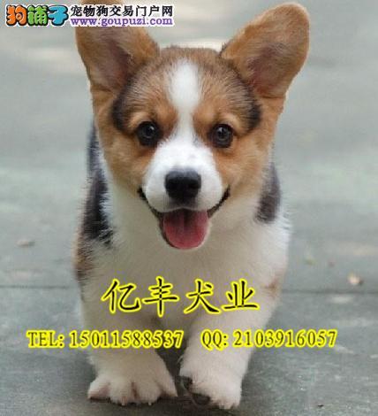 纯种柯基犬 纯种柯基幼犬 纯种柯基价格 完美售后