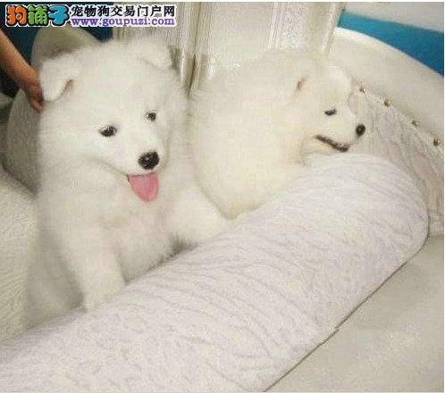 澳版萨摩耶幼犬 微笑天使双眼皮萨摩耶幼犬,包健康