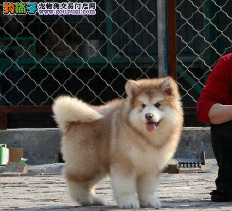 出售高品质阿拉斯加幼犬包纯种包健康