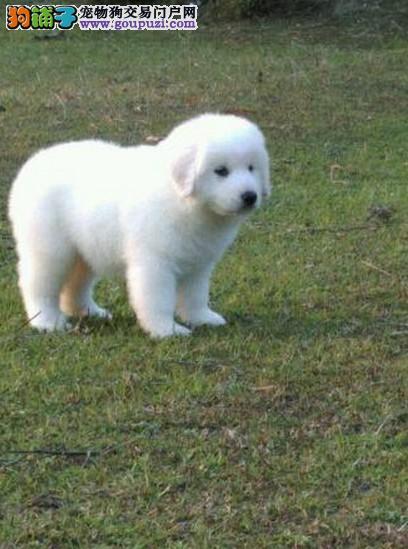 出售自家科学繁殖大白熊犬 护卫犬猎犬 大白熊犬