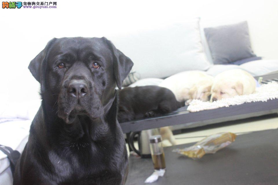 出售纯种拉布拉多幼犬包健康