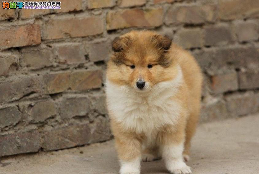 出售血统纯正苏格兰牧羊犬 健康保障 欢迎来狗场