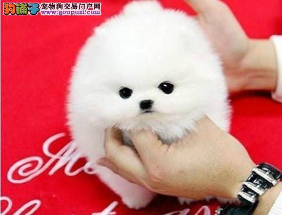 出售茶杯犬幼犬包健康