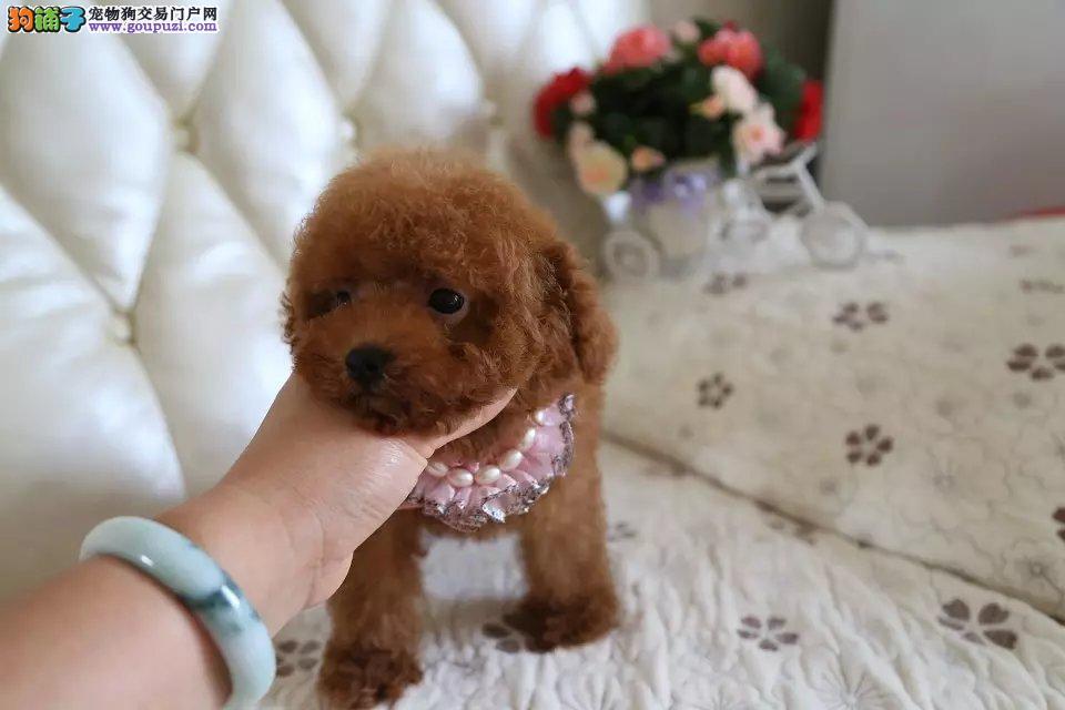 犬舍直销贵宾狗 贵宾犬 幼犬 包纯种 包健康