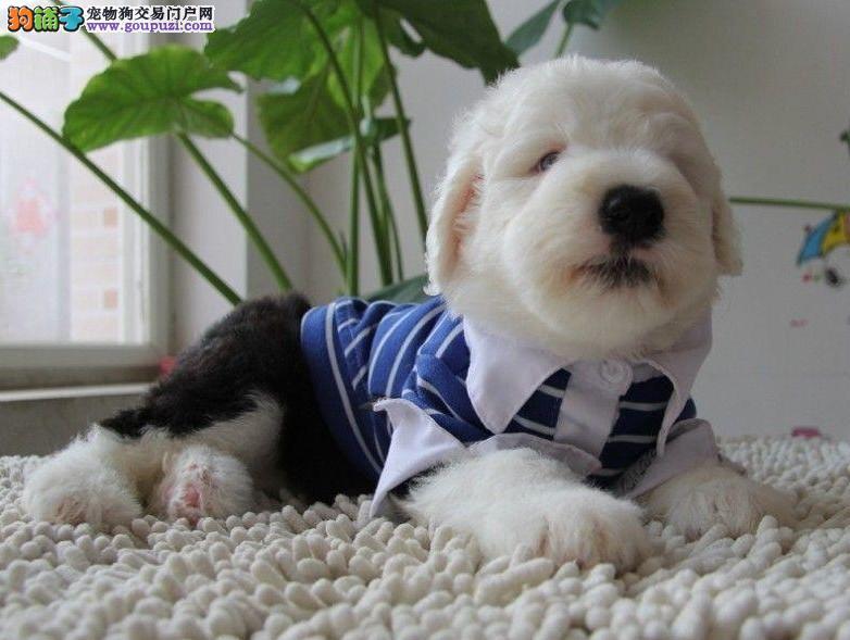 常年销售 健康古牧幼犬 高端品质超好品相 协议