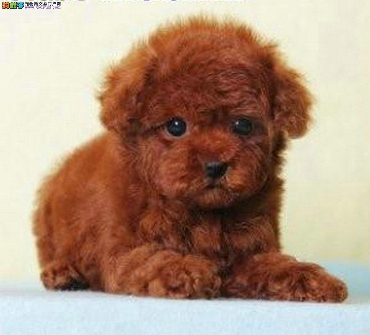 出售泰迪幼犬包健康驱虫疫苗已做
