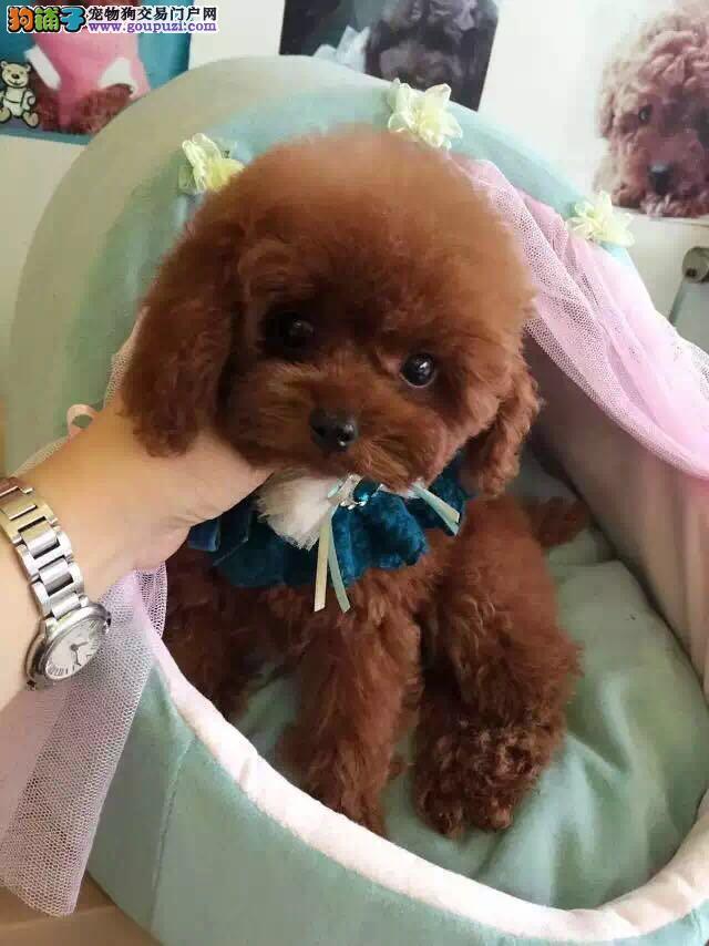 西安哪里有泰迪犬出售泰迪价格是好多泰迪图片