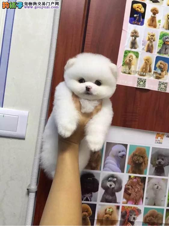 西安哪里有哈多利球形博美犬出售博美是好多钱一只