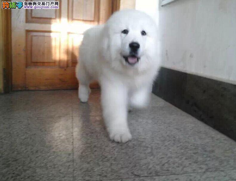 西安大白熊哪里开狗场 大白熊去哪能买得到