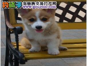抵挡不了的诱惑 高品质柯基幼犬 不忽悠的品质